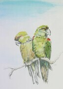 Maroon-Fronted Parrots